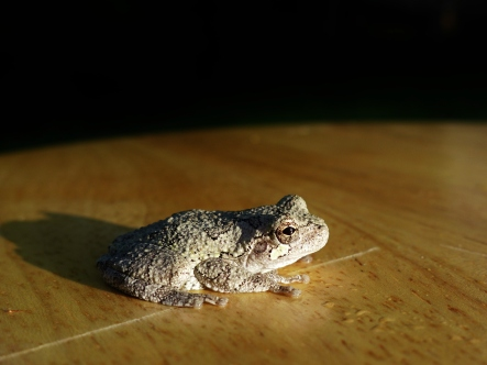 Gray Treefrog, Jamestown, VA (3)