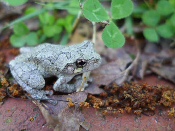 Gray Treefrog, Jamestown, VA (5)