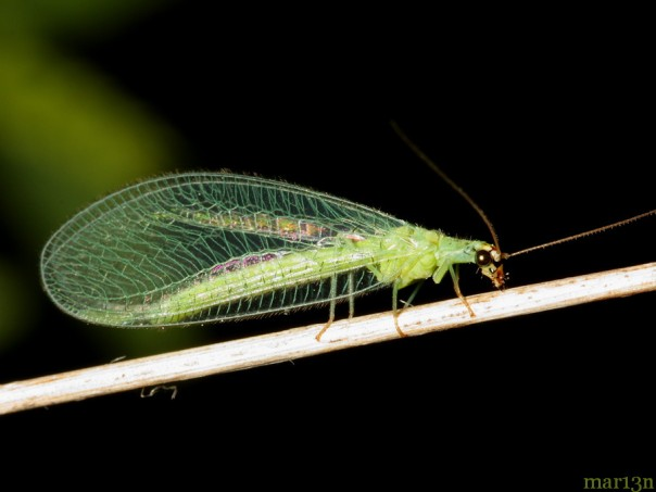 green_lacewing_new