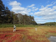 Scott Warren of Connecticut College on a salt marsh in Barn Island. Notice the beginnings of a ghost forest just above him.