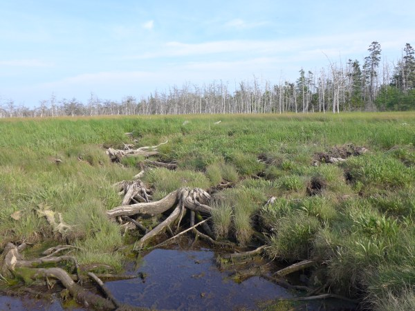 The roots of tree carcasses still snake through the marsh in New Brunswick, Canada. In the background is a ghost forest of red spruce, with not-yet-dead spruces behind them.