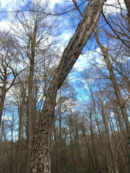 Strip of bark in cypress swamp, Darlington, South Carolina