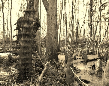 Swamp backbone (1)