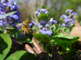 Backyard Bees (2)