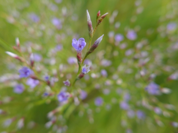 Sea Lavender, Limonium, Rowley, Massachusetts (5)