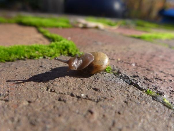 Backyard snail (6)