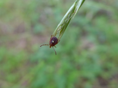 Tick, Lonestar (4)