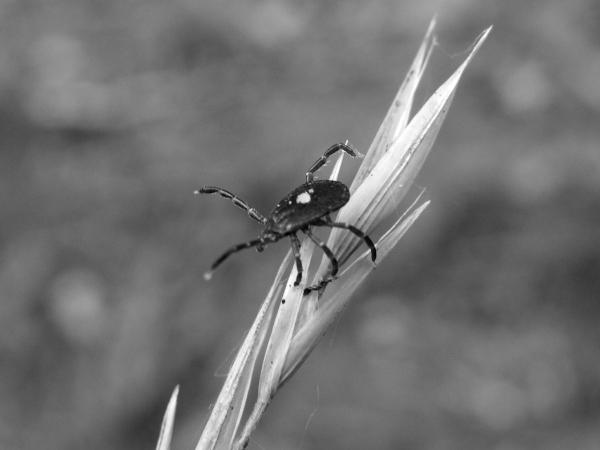 Tick, Lonestar (6) - Copy