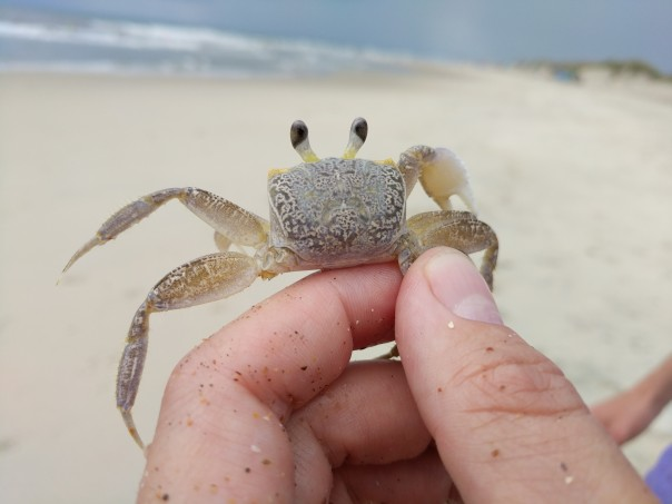 Ghost crab, Ocypode, Outer Banks, NC (2)