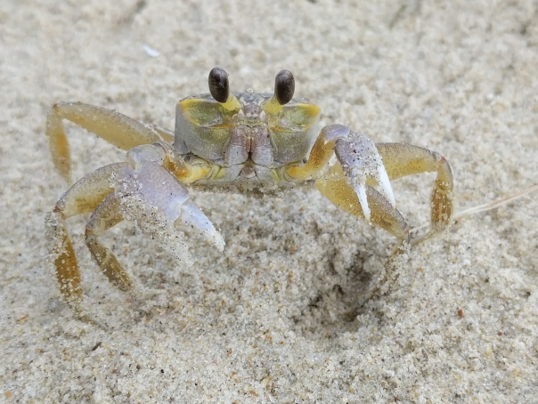 Ghost crab, Ocypode, Outer Banks, NC (3)
